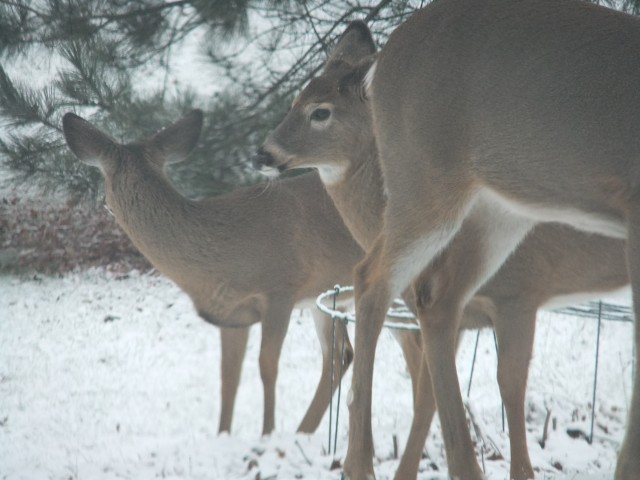 Deer at Bird Seed Feeder, in Port Henry