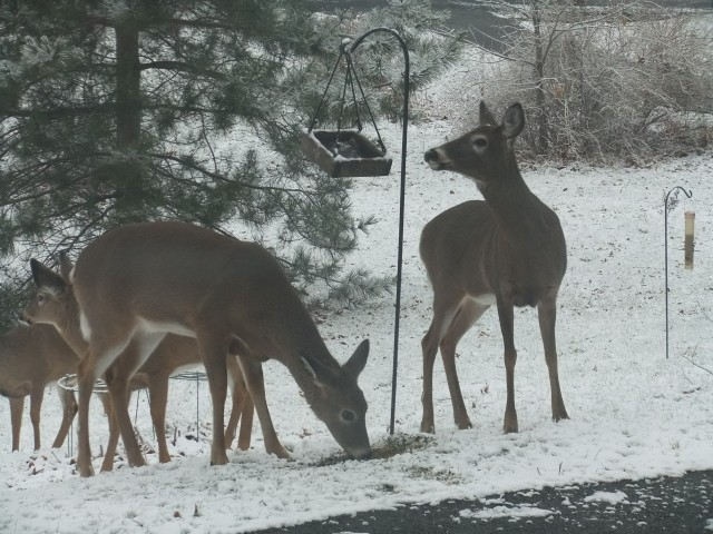 Deer visit to front lawn bird seed feeder